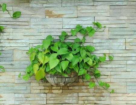 Devil's ivy-Money plant-Epipremnum aureum