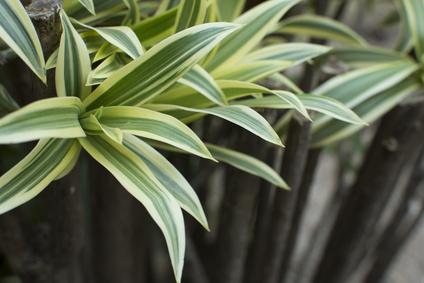 Dracaena deremensis, Green Dracaena
