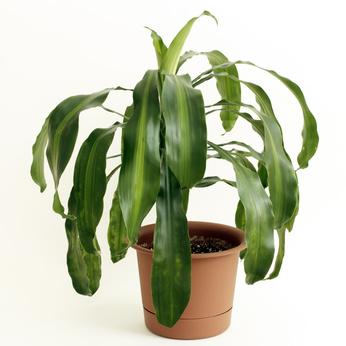 Dracaena fragrans or cornstalk Dracaena house plant