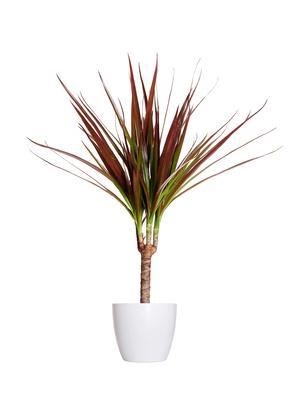 Houseplant - dracena marginata