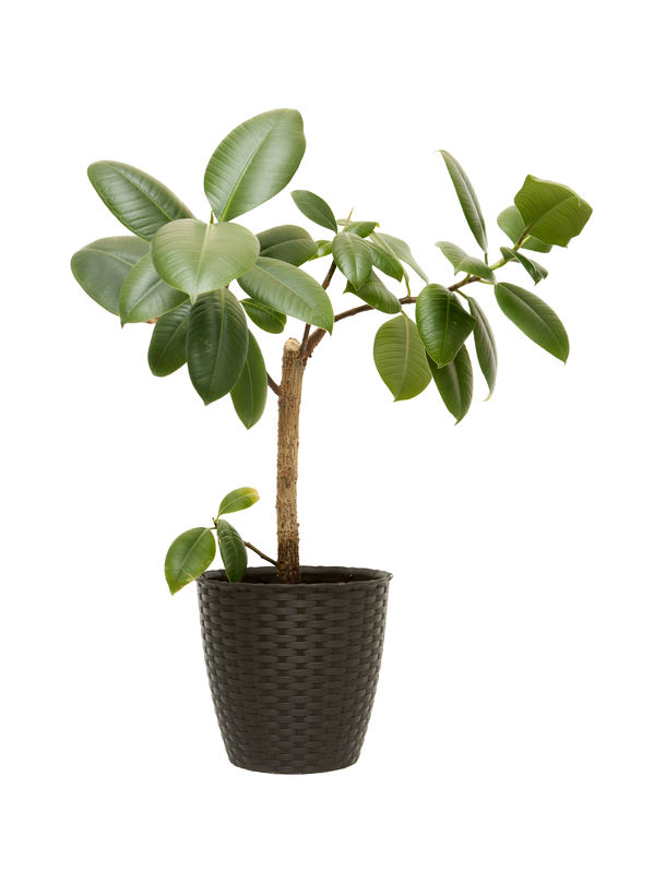 Rubber-Plant-Ficus-Elastica