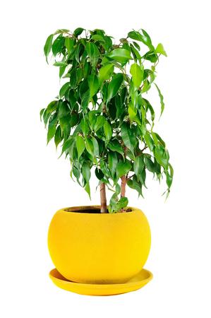 Weeping Fig, Ficus Benjamina